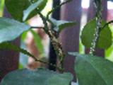 Thumbnail Swallowtail Caterpillar Malaysia